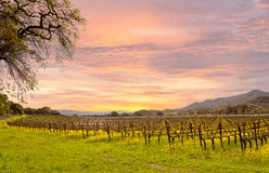 Napa Valley Vineyards Autumn Sunrise. Sunrise on California's Napa Valley in Spring with rows of vineyards, mountains and wild yellow mustard plant growing royalty free stock image