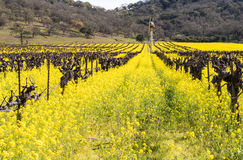 Napa Valley Vineyards and Mustard Blooming Stock Images