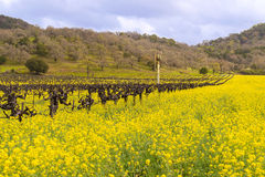 Napa Valley Vineyards and Mustard Blooming Royalty Free Stock Photo