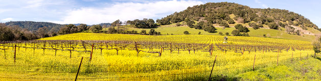 Napa Valley Vineyards and Mustard in Spring Panoramic. Wine Country in Napa Valley California in spring with wild mustard plant blooming panoramic Stock Photography