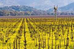 Napa Valley Vineyards and Mustard in Spring. Wine Country in Napa Valley California in spring with wild mustard plant blooming Stock Images