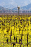 Napa Valley Vineyards and Mustard in Spring. Wine Country in Napa Valley California in spring with wild mustard plant blooming Stock Photography