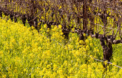 Napa Valley Vineyards and Mustard in Spring Royalty Free Stock Image