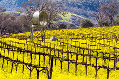 Napa Valley Vineyards and Mustard in Spring. Wine Country in Napa Valley California in spring with wild mustard plant blooming royalty free stock photography