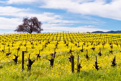 Napa Valley Vineyards and Mustard in Spring. Wine Country in Napa Valley California in spring with wild mustard plant blooming Stock Photo