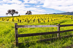 Napa Valley Vineyards and Mustard in Spring. Wine Country in Napa Valley California in spring with wild mustard plant blooming panoramic Stock Photo