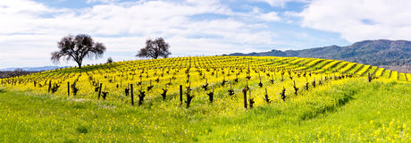 Napa Valley Vineyards and Mustard in Spring. Wine Country in Napa Valley California in spring with wild mustard plant blooming panoramic Royalty Free Stock Images