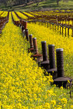 Napa Valley Vineyards and Mustard in Spring. Wine Country in Napa Valley California in spring with wild mustard plant blooming and smudge pots Royalty Free Stock Images