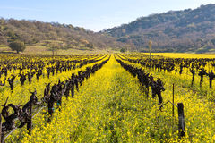 Napa Valley Vineyards And Spring Mustard. The Vineyards of Napa Valley are painted with the yellow color of mustard plants blooming in spring Stock Photography
