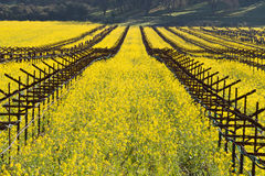 Napa Valley Vineyards And Spring Mustard. The Vineyards of Napa Valley are painted with the yellow color of mustard plants blooming in spring Royalty Free Stock Photos