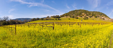 Napa Valley Vineyards And Spring Mustard. The Vineyards of Napa Valley are painted with the yellow color of mustard plants blooming in spring Royalty Free Stock Photo