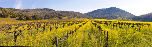 Napa Valley Vineyards And Spring Mustard. The Vineyards of Napa Valley are painted with the yellow color of mustard plants blooming in spring Stock Images