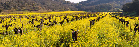 Napa Valley Vineyards And Spring Mustard. The Vineyards of Napa Valley are painted with the yellow color of mustard plants blooming in spring Royalty Free Stock Images