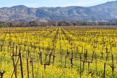 Napa Valley Vineyards And Spring Mustard. The Vineyards of Napa Valley are painted with the yellow color of mustard plants blooming in spring Stock Image