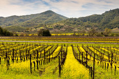 Napa Valley Vineyards And Spring Mustard Stock Photos
