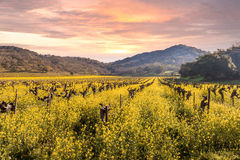 Napa Valley Vineyards Spring Sunrise. Sunrise on California's Napa Valley in Spring with rows of vineyards and mountains royalty free stock image
