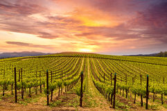 Napa Valley Vineyards Spring Sunset Stock Images