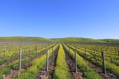 Napa- Valleyfrühlings-Senf-Ansicht stockfotos