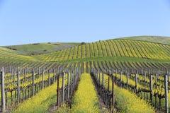 Napa- Valleyfrühlings-Senf-Ansicht Lizenzfreies Stockbild