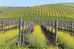 Napa- Valleyfrühlings-Senf-Ansicht Lizenzfreie Stockbilder