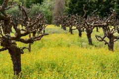 Alte Weinreben auf einem Gebiet des Senfes Lizenzfreies Stockfoto