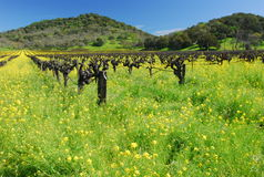 Napa vineyards in flower. Napa vineyard , California in spring royalty free stock images