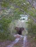 Napadanie żeński dorosły słoń zdjęcia stock