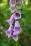 Naparstnica (Digitalis Purpurea) Zdjęcia Stock