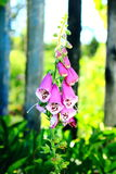Naparstnica kwiat Zdjęcie Royalty Free