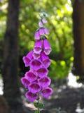 Naparstnica kwiat przeciw bokeh tłu Fotografia Royalty Free