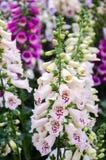 Naparstnicy roślina Obraz Royalty Free