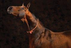 napastujący koń Zdjęcia Stock