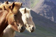 napastujący koni Iceland czerwieni srebro obraz stock