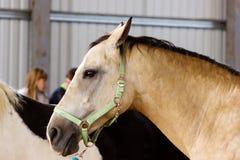 Napastuje końskiego uczenie pracować na manege Fotografia Stock