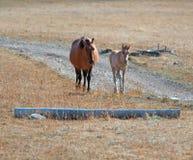 Napastuje źrebięcia z Napastuje klacz matki na Sykes grani w Pryor górach Obraz Stock