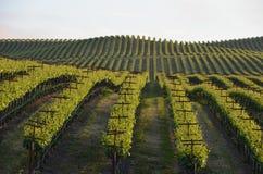 Napavallei van druivengebieden op de manier aan santa rosa Stock Fotografie