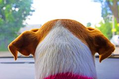 Nape head jack russell terrier in car. Through windshield stock photo