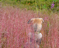 Nape of home  puppy who for the first time saw  wild nature amon Stock Images