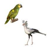 Naped亚马逊鹦鹉, Secretarybird隔绝了  免版税库存图片