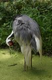 Naped bianco Crane Ruffling His Feathers in uno stagno Fotografie Stock