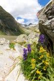 Napellus d'Aconitum de Wolfsbane Images stock