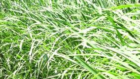 Napier Grass In Farm Plants. Closeup, Napier Grass (Pennisetum purpurerum) tree In Farm Plants at Don Duong town, Da Lat, Vietnam. Da Lat is the capital of Lam stock footage