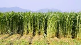 Napier Grass In Farm Plants