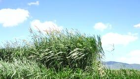 Napier Grass In Farm Plants. Napier Grass (Pennisetum purpurerum) In Farm Plants at Don Duong town, Da Lat, Vietnam. Da Lat is the capital of Lam Province in stock video