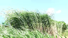 Napier Grass In Farm Plants. Napier Grass (Pennisetum purpurerum) field In Farm Plants at Don Duong town, Da Lat, Vietnam. Da Lat is the capital of Lam Province stock video