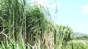 Napier Grass In Farm Plants. Napier Grass (Pennisetum purpurerum) field In Farm Plants at Don Duong town, Da Lat, Vietnam. Da Lat is the capital of Lam Province stock footage