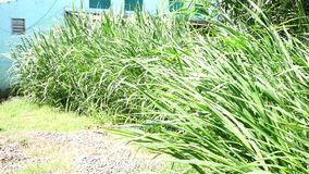 Napier Grass In Farm Plants. Napier Grass (Pennisetum purpurerum) tree In Farm Plants at Don Duong town, Da Lat, Vietnam. Da Lat is the capital of Lam Province stock video footage