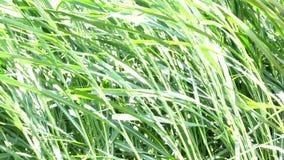 Napier Grass In Farm Plants. Napier Grass (Pennisetum purpurerum) tree In Farm Plants at Don Duong town, Da Lat, Vietnam. Da Lat is the capital of Lam Province stock footage