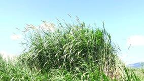 Napier Grass In Farm Plants. Sunshine, Napier Grass (Pennisetum purpurerum) In Farm Plants at Don Duong town, Da Lat, Vietnam. Da Lat is the capital of Lam stock video footage