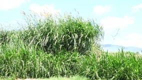 Napier Grass In Farm Plants. Wind, Napier Grass (Pennisetum purpurerum) In Farm Plants at Don Duong town, Da Lat, Vietnam. Da Lat is the capital of Lam Province stock footage